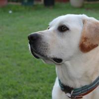 I love my Labrador